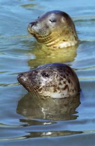 grey-seals-sidebar