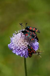 6 spotted burnett moth