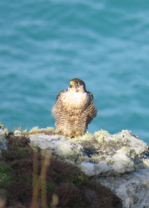 Peregrine falcon, Cornwall's amazing wildlife on a guided walk on the south west coast path